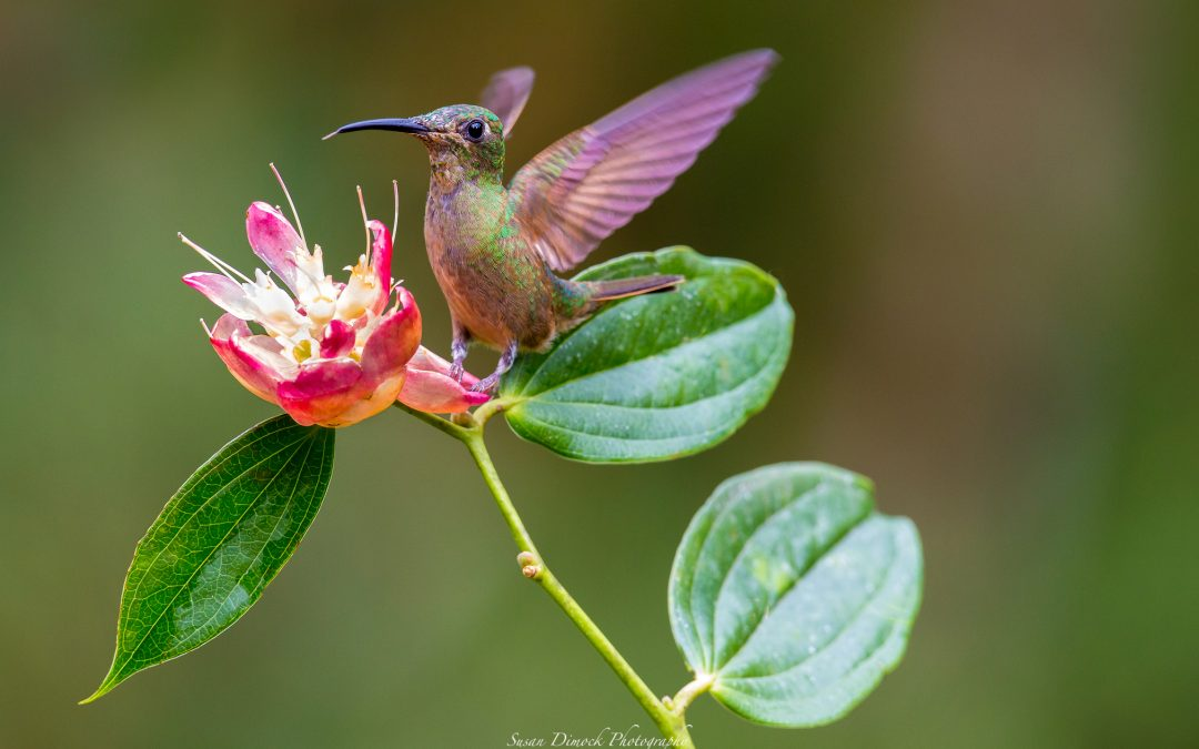 Finally! Hummingbirds, Cloud Forest! Ecuador: Part III